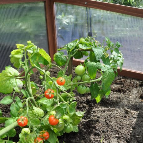 Lekker tomaten in de Broeikas Sweet Tomato